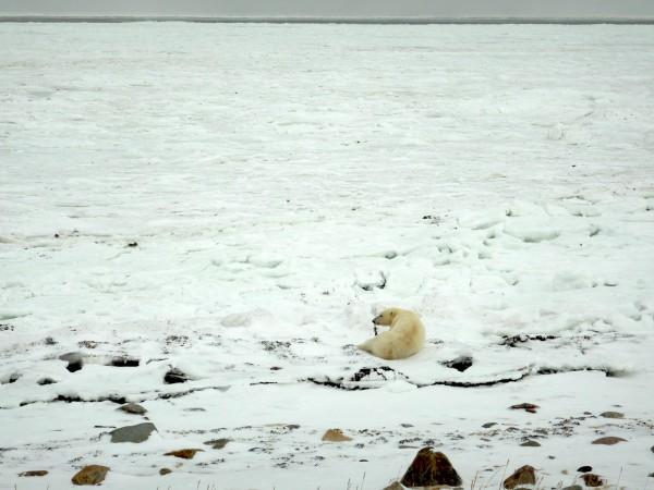4 subadult female polar bear_11102018