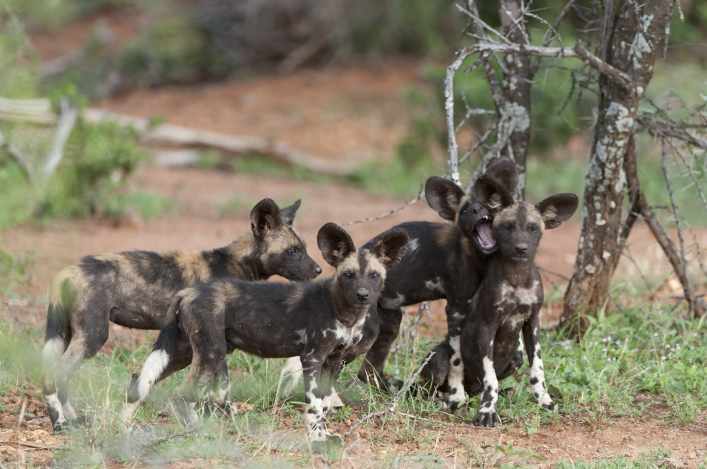 African wild dog (Lycaon pictus) puppies