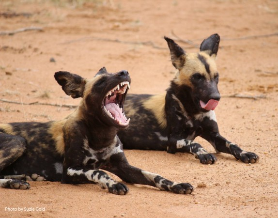 African wild dogs are among the most successful social hunters in Africa. They have dagger-like teeth, designed for eating meat, and when hunting prey, their bodies cool down after running as fast as 37 miles per hour (60 kph).