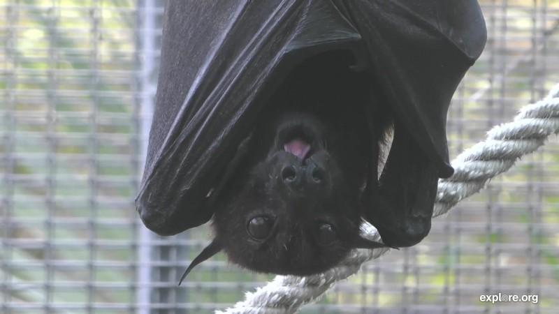 Bats_CamOp Kwaahu_12.25.18