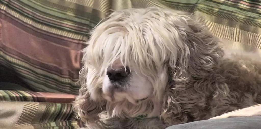 shaggy dog senior dogs blog