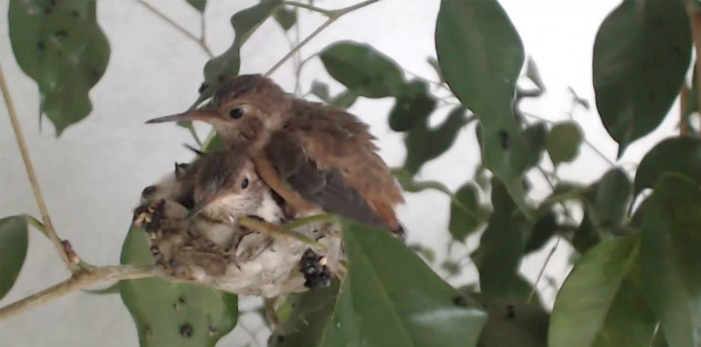 bella fledge hummingbird blog
