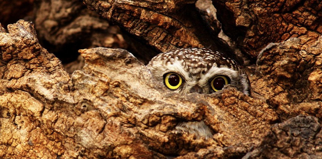 Great gray owls! Great horned owls! There are many great — nay, superb — owl livestreams to enjoy on Sunday … or whenever you'd like to see some head turners. Photo by JANMEJAYSINH JADEJA/EYEEM/GETTY IMAGES