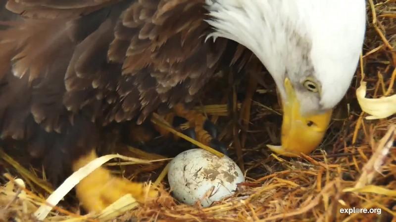 Eagles_DE First Egg_TinyJulz<><_2.23.19