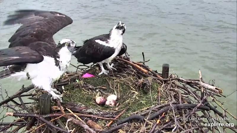 Osprey_CC Third Egg_CamOp Christine_4.20.19
