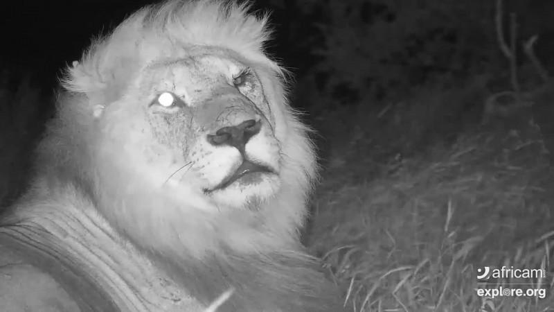 Africam_CE_Lions_EMTME22_5.9.19