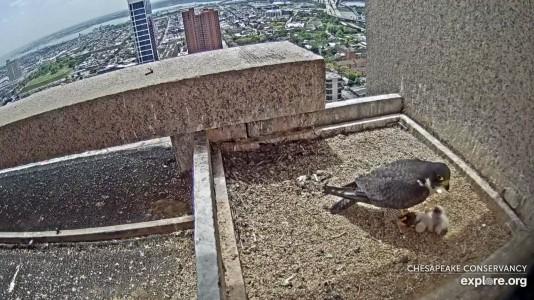 Falcons_CC Two Hatches_Paula_4.30.19