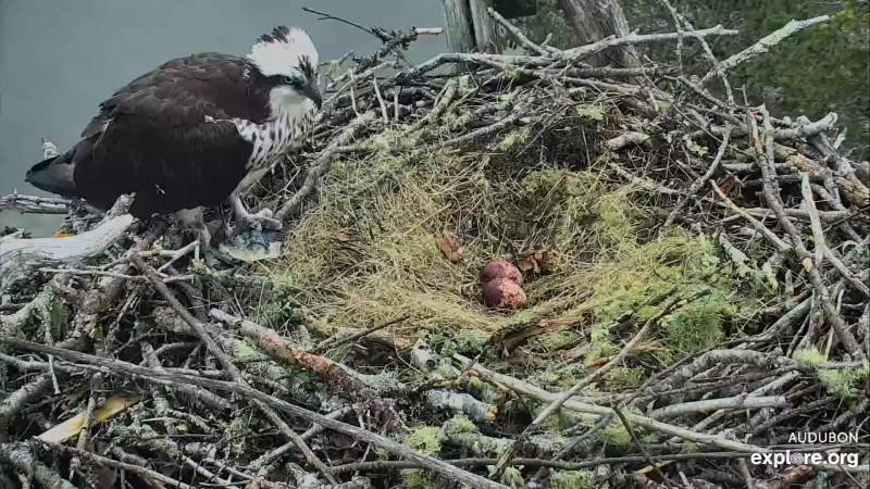 Osprey_HI second egg_Zel_5.2.19