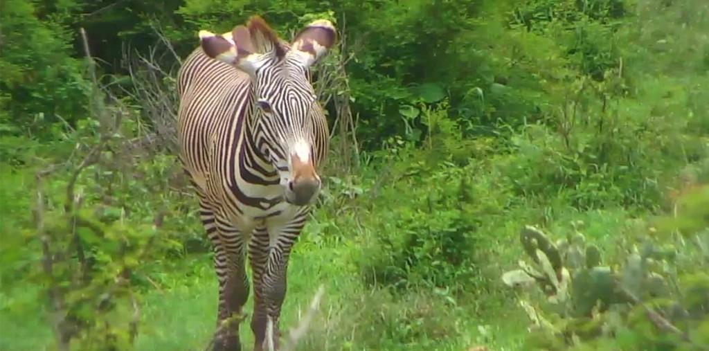 zebra blog mpala