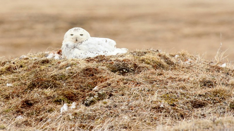 Snowy-Owl-Arctic-14