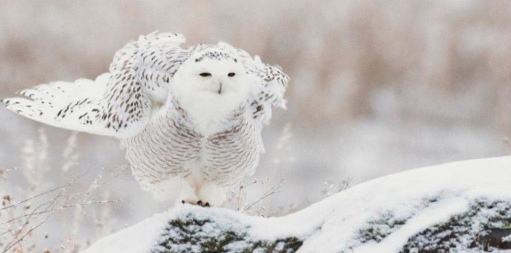 snowy owl blog