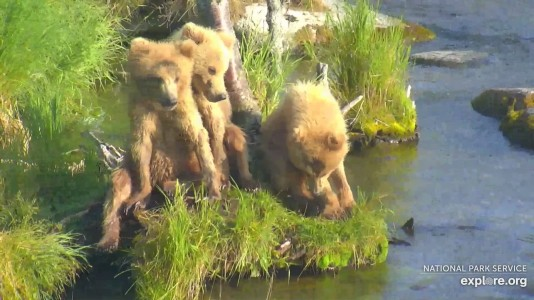 Bearcam Week in Review July 13 2019