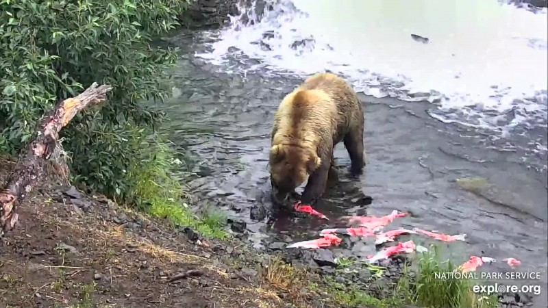 854 Divot and her salmon bounty Snapshot by Brenda05