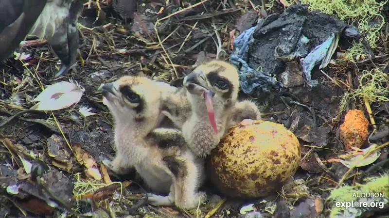 Osprey_HI Second Chick_CamOp Pan_6.11.19