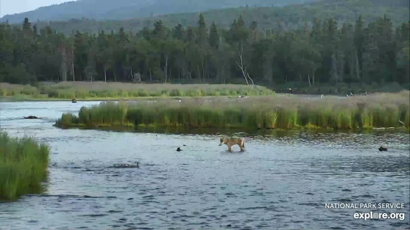 Wolf seen crossing river Snapshot by CamOp Arya