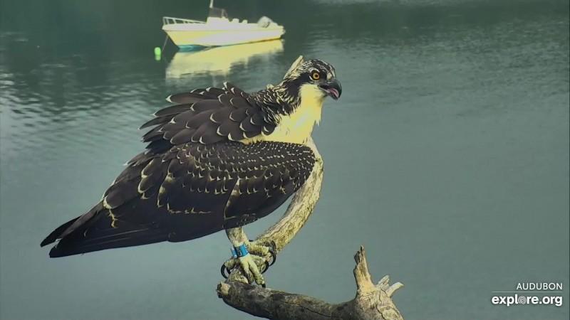 halley HI osprey