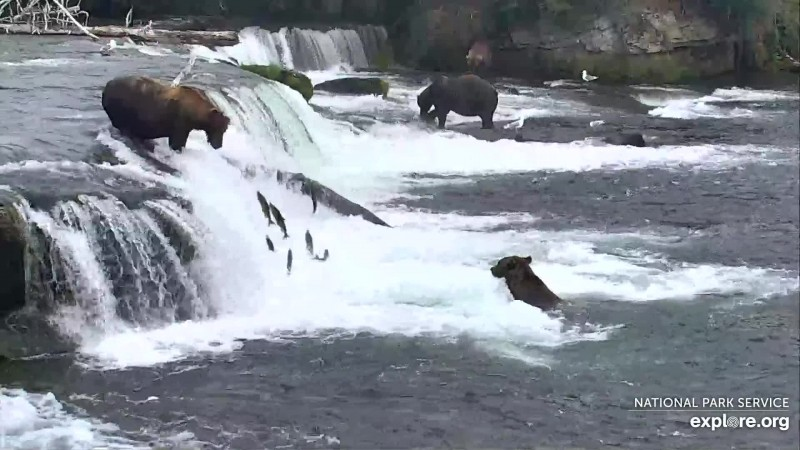 Lots of salmon jumping the falls Snapshot by LaniH