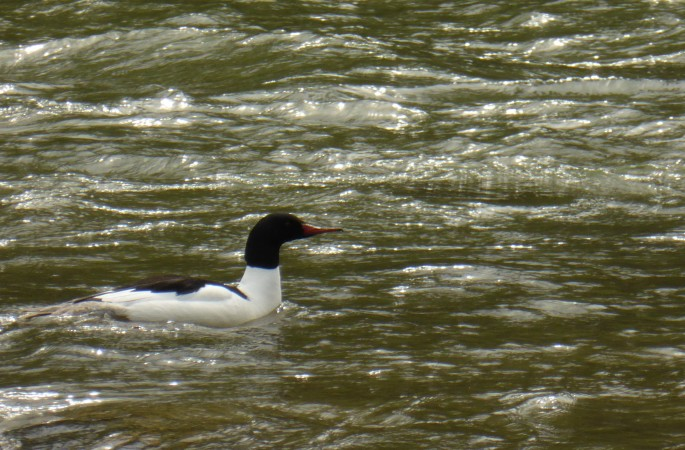 Male Merganser picture by Mike Fitz