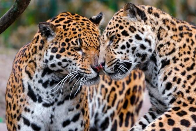 leopards amazon fire campaign