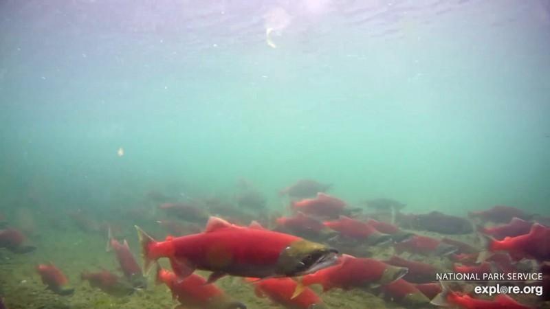 Red sockeye salmon Snapshot by Blair-55