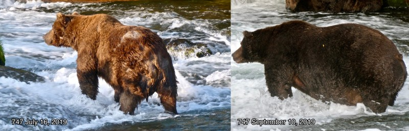 747 Fat Bear Week comparison