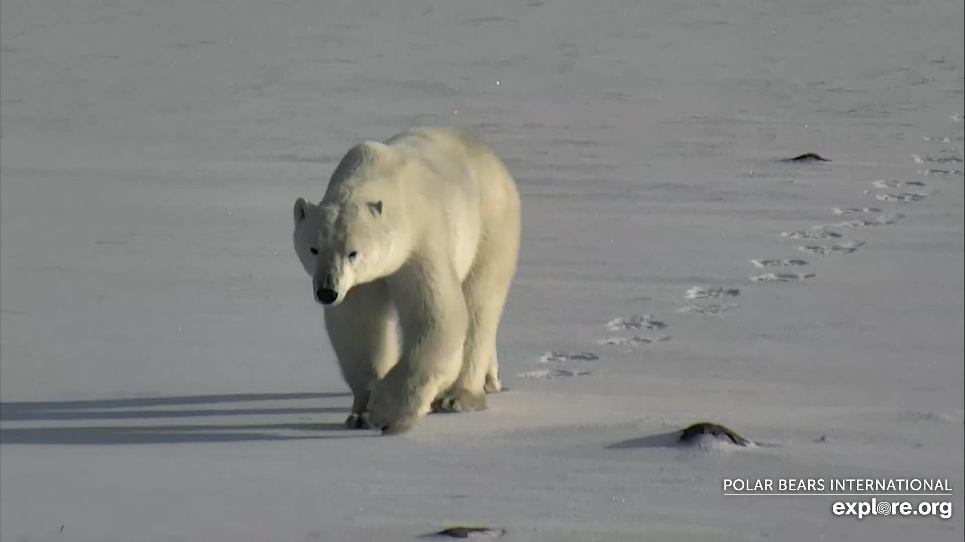 PolarBears_CamOp Arya_11.1.19