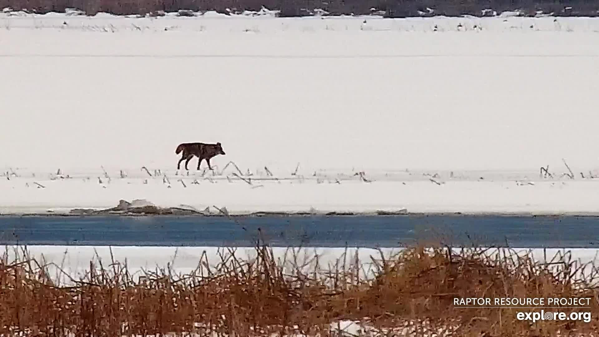 January 26, 2020: Coyotes on the Flyway