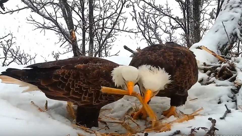 January 24, 2020: Mr. North and DNF place materials on the North Nest. Working on the nest together reinforces their bond.
