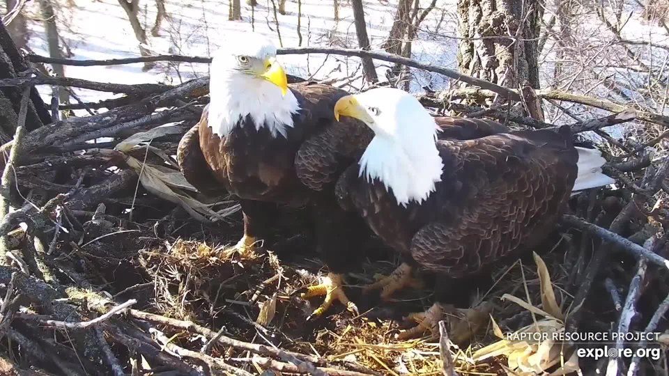 February 5, 2020: Mom and DM2 stand wing to wing in the nest. These brief moments occur with increasing frequency as courtship deepens.