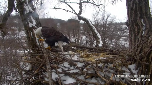 How much weight can a Bald Eagle carry?