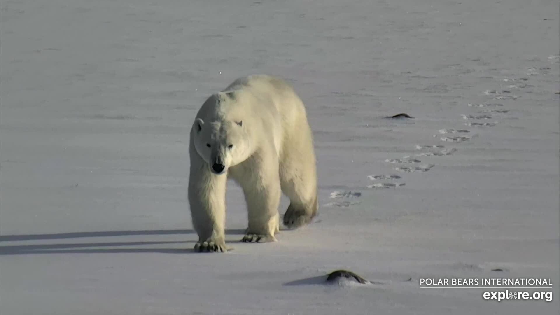 Strolling on the Tundra- Polar Bears International