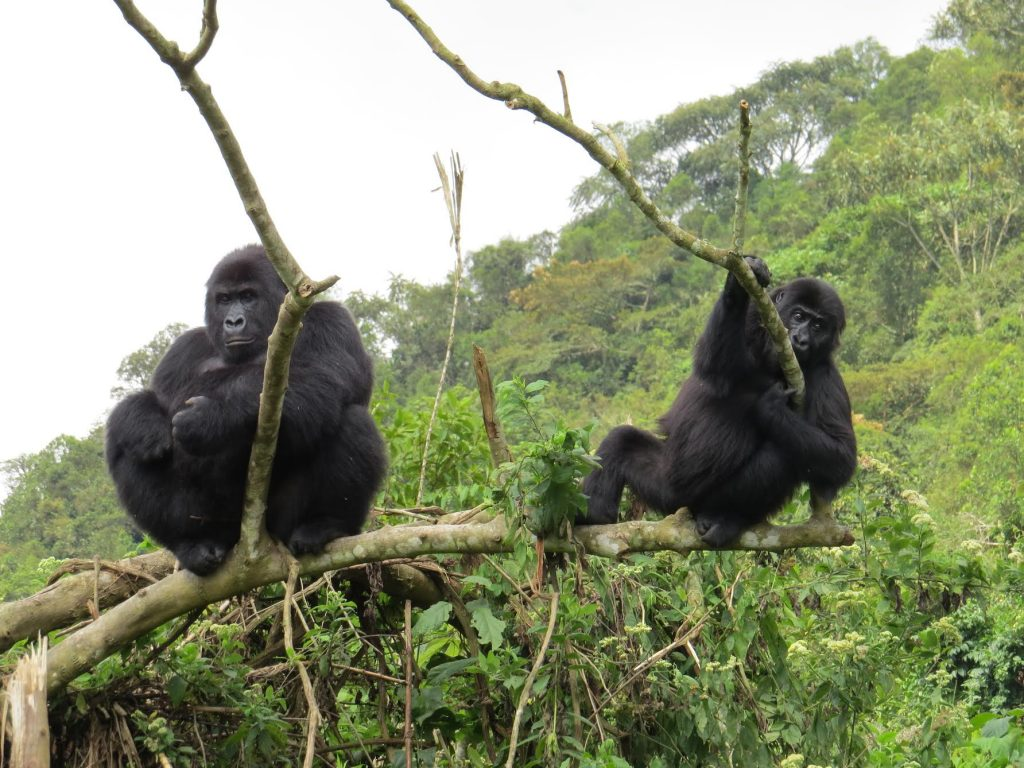 Two gorillas sit on a branch near each other in the GRACE forest habitat.
