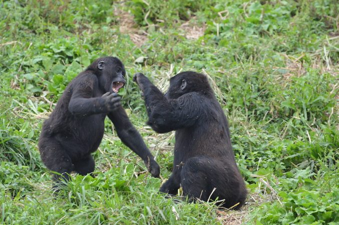 Two young gorillas play together at GRACE.