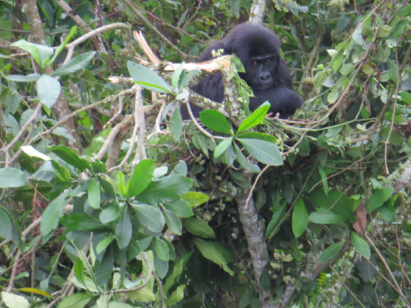 A young gorilla rests in a nest she made in a tree on her first day inside the GRACE forest after being rescued.