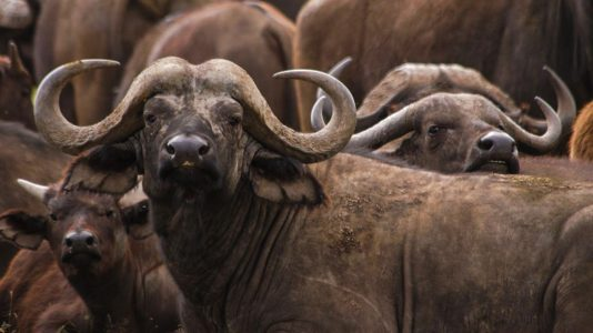 All About African Buffalo